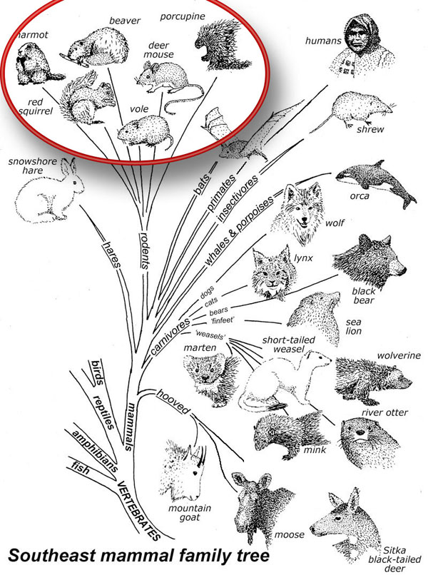 The order Rodentia has the largest number of Southeast species.