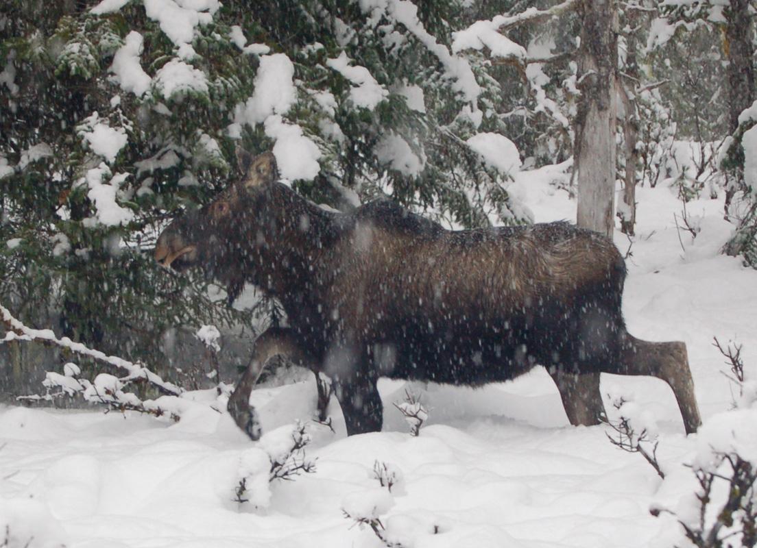 Cow moose in Gustavus snow storm