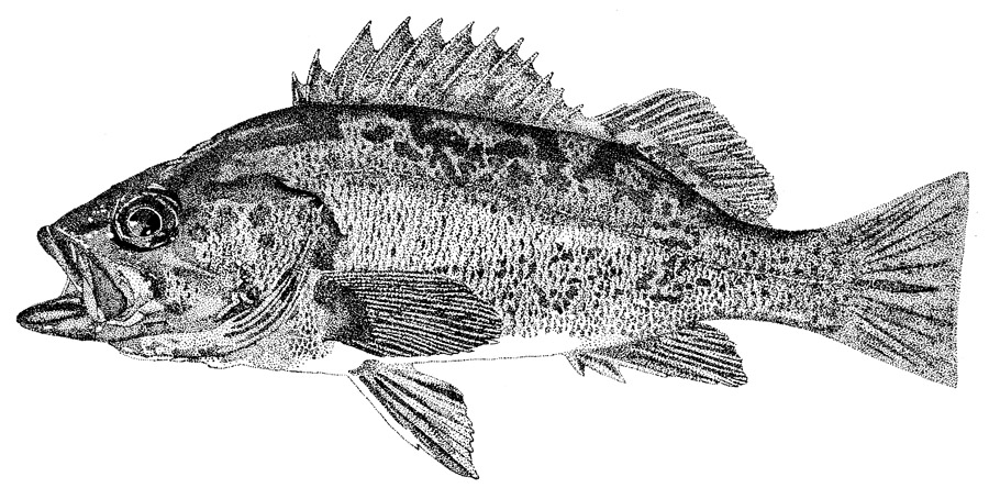 Black rockfish (Sebastes melanops), nicknamed 'brown bombers.' Unlike the more sedentary reef-dwelling rockfish, this species feeds in surface and midwater schools.
